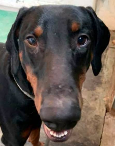 05 Bojo/Adopted, an adopted Doberman Pinscher in Canton, OH