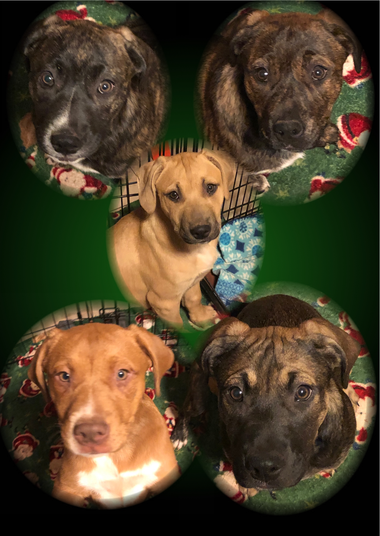 Dog For Adoption Miracles Puppies Litter Of 9 A Dutch Shepherd