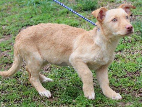 Dog For Adoption Gina B Sweetie Pie A Golden Retriever Corgi