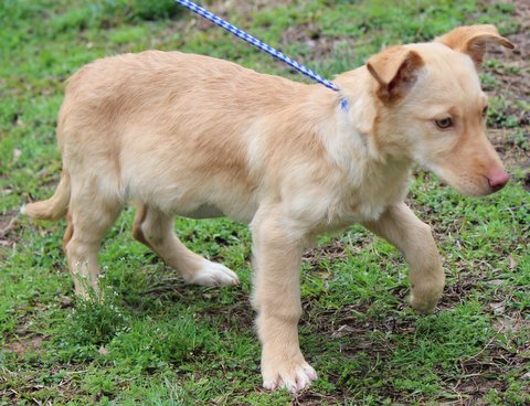 Dog For Adoption Gina B Sweetie Pie A Golden Retriever Corgi