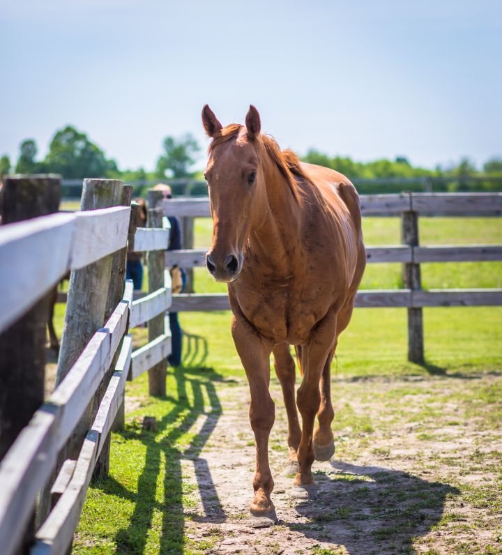 Saber - Pasture Pet Only 4