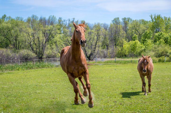 Saber - Pasture Pet Only 5