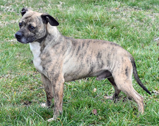 Rowdy, an adopted Pug & Terrier Mix in Marion, KY