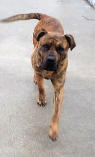 Titue, an adopted Boxer in Marion, KY