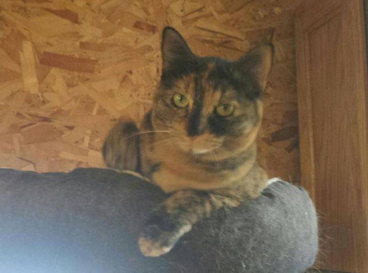 Rosebud, an adoptable Tortoiseshell in Waverly, IA
