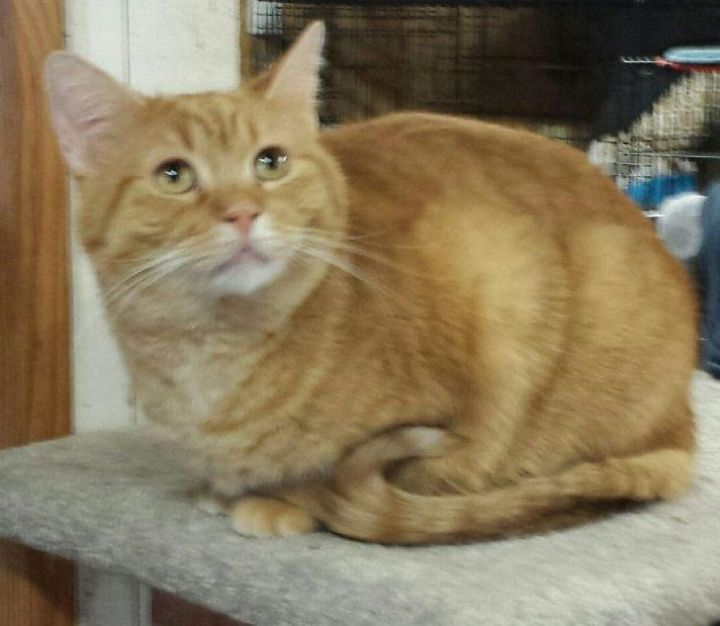 Daffodil, an adoptable Tabby & Domestic Short Hair Mix in Waverly, IA