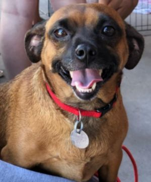 Dog for adoption - Lena, a Dachshund & Chihuahua Mix in