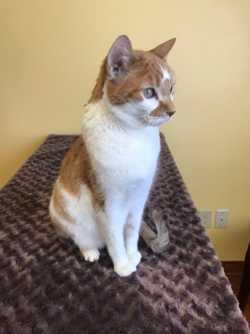 Gizmo, an adoptable Domestic Short Hair in Waverly, IA