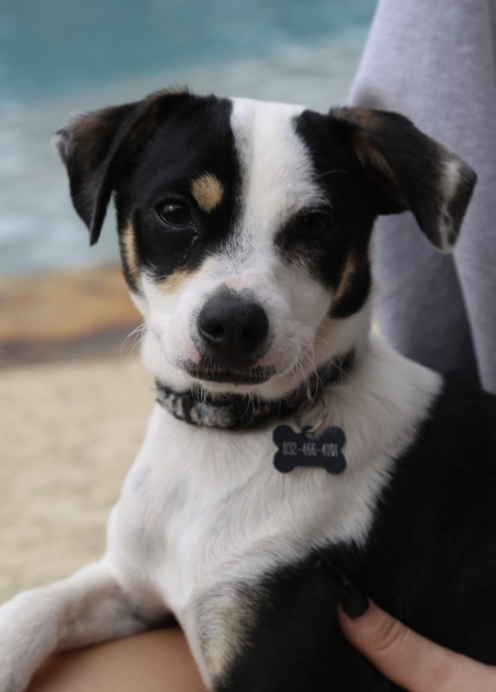 Dante, an adopted Rat Terrier Mix in Cypress, TX