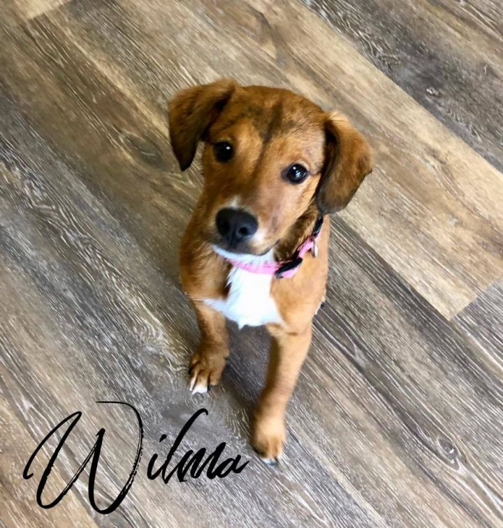 Wilma, an adopted Labrador Retriever Mix in Cypress, TX