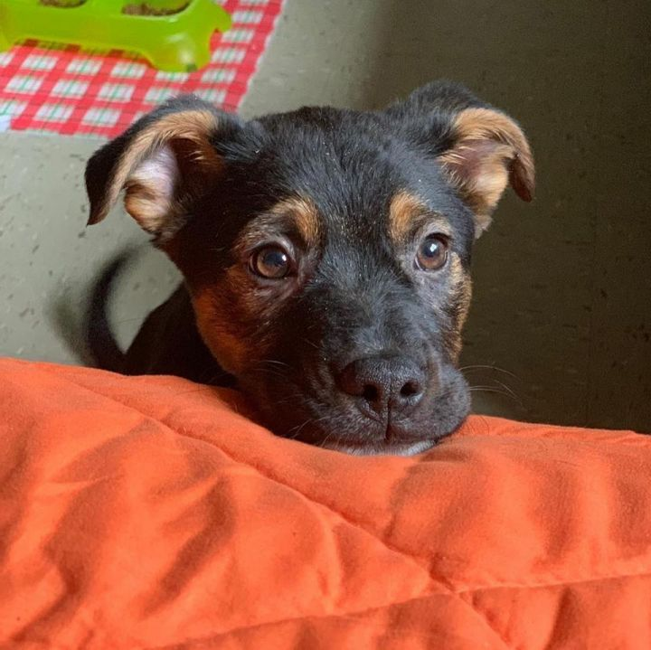 Jagger, an adopted Shepherd Mix in Brooklyn, NY
