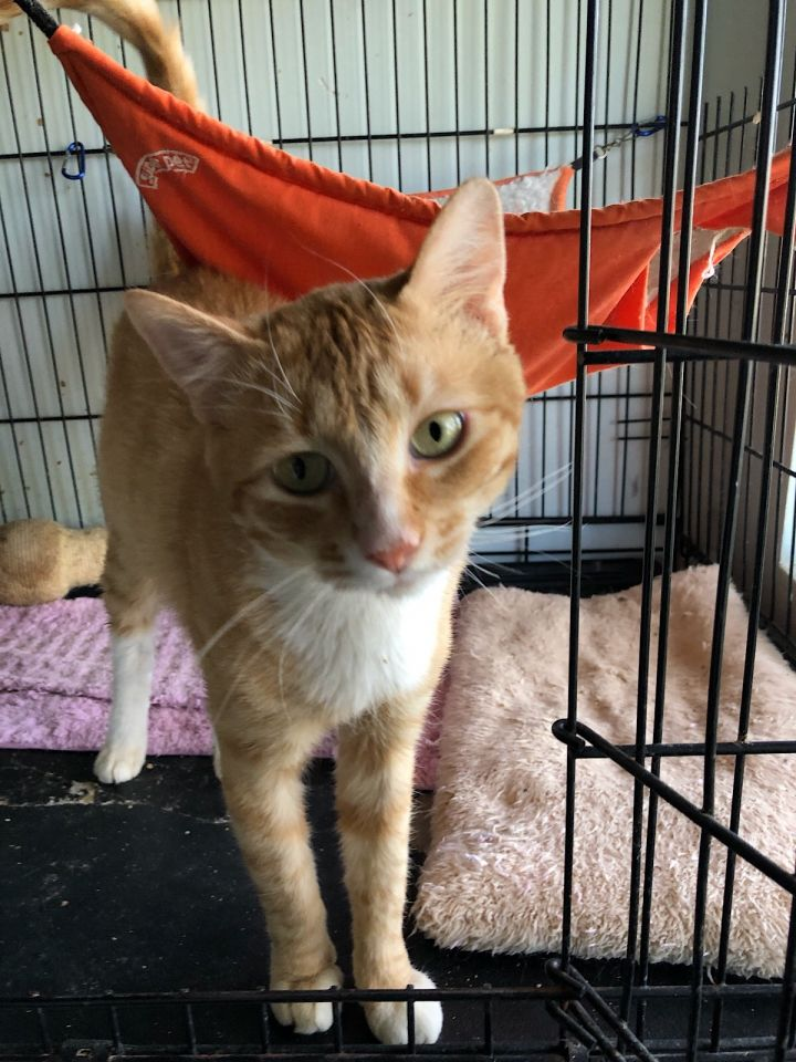 Tommy, an adoptable Domestic Short Hair & Tabby Mix in Mission Viejo, CA