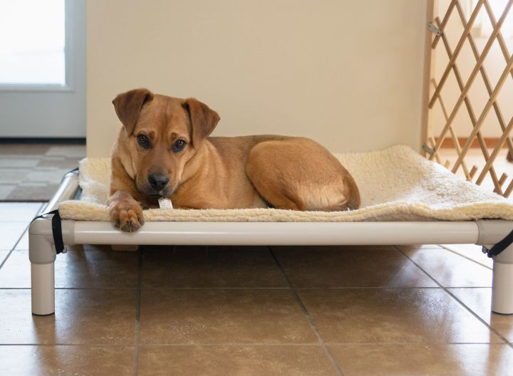 Odin, an adopted Labrador Retriever Mix in Winnipeg, MB