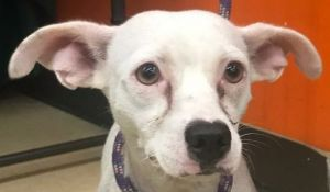 Blanquita is a two year-old ChihuahuaSpaniel mix rescued from Puerto Rico If interested in adoptin
