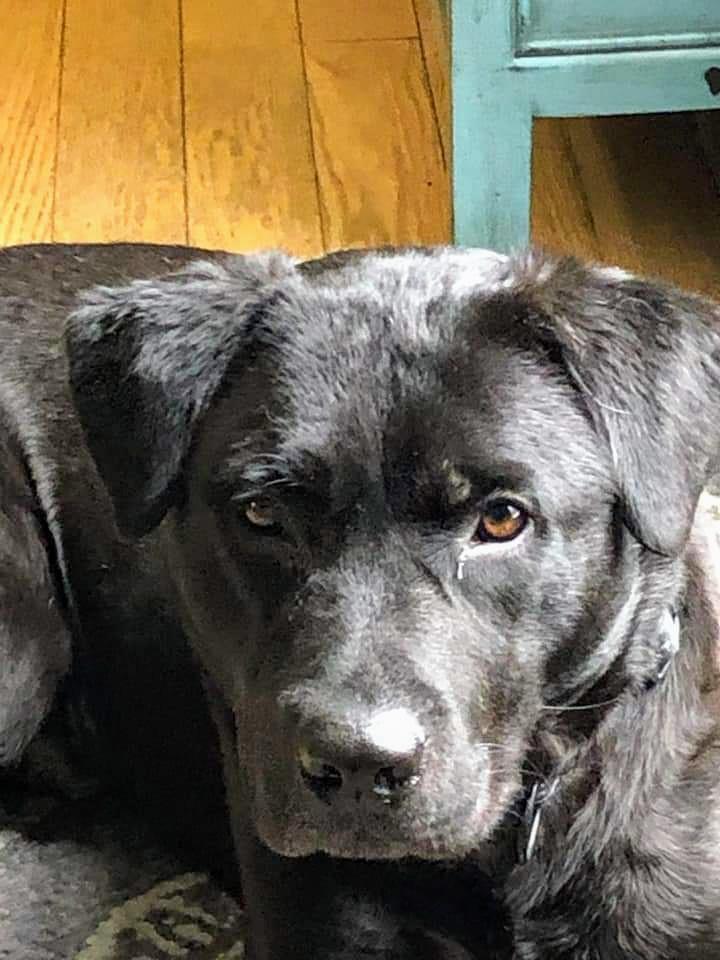Dog for adoption - Princeton, a Labrador Retriever in