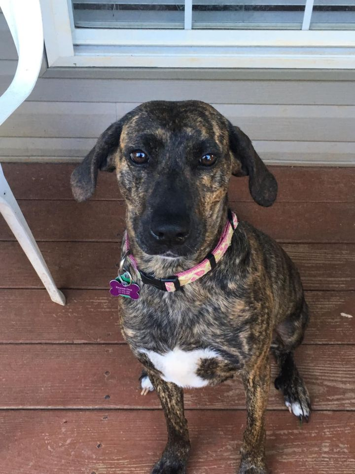 Chessy, an adopted Plott Hound Mix in Springfield, MO