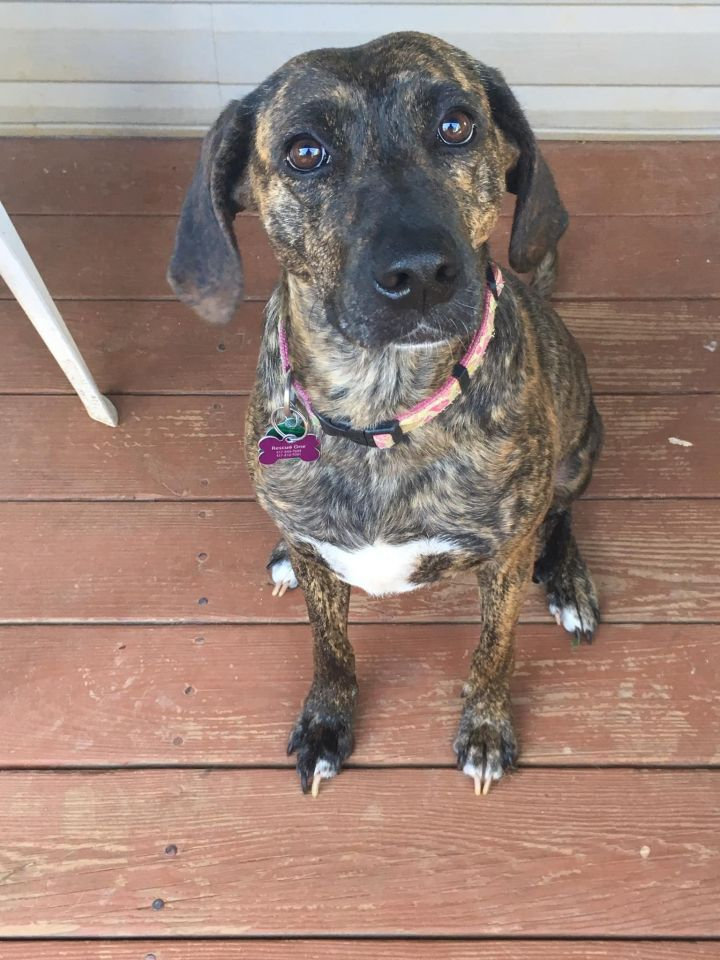 Chessy, an adoptable Plott Hound Mix in Springfield, MO
