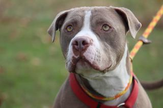 Polo, an adoptable Pit Bull Terrier Mix in Queenstown, MD