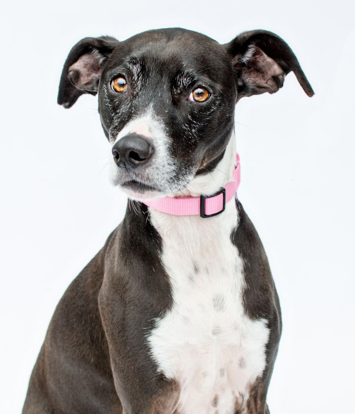 Belle, an adoptable Whippet & Boxer Mix in Atlanta, GA