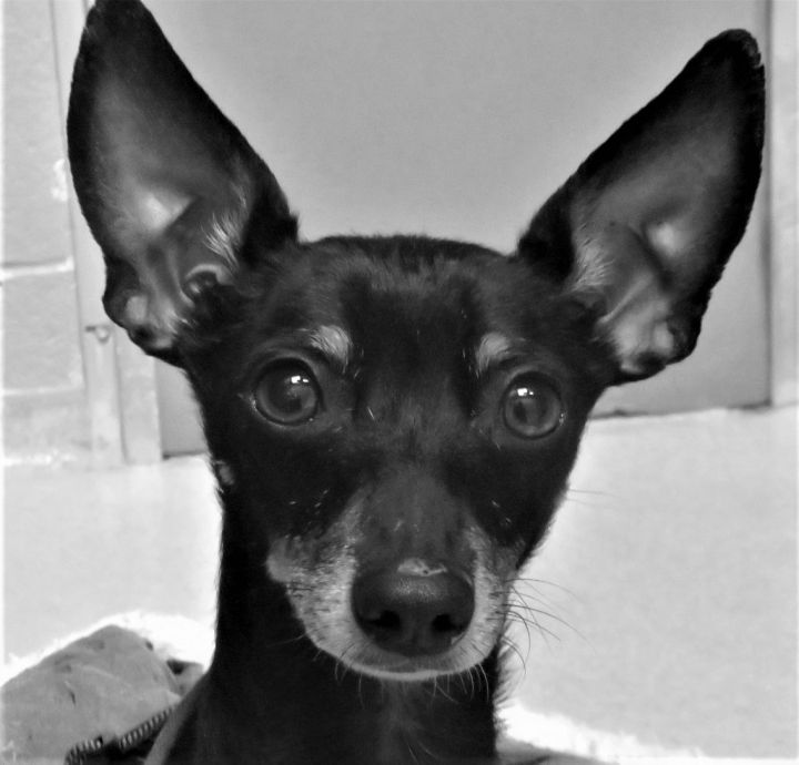 Jalapeno Popper (Niko), an adopted Miniature Dachshund & Chihuahua Mix in Harrisburg, PA