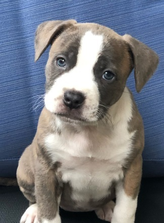 Dog For Adoption Puppies A Staffordshire Bull Terrier Mix In