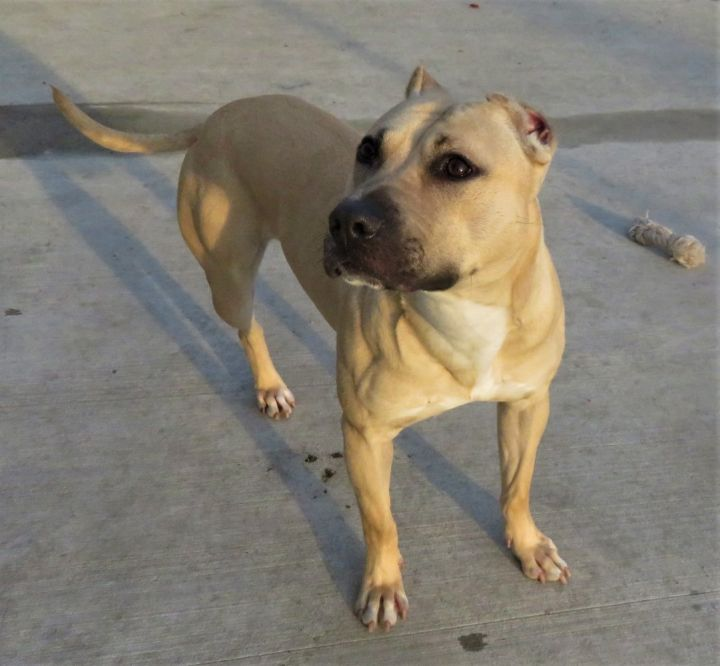 Benaiah (Rooney), an adoptable Pit Bull Terrier Mix in Harrisburg, PA