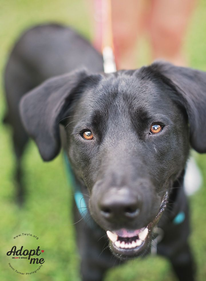 Denali, an adoptable Labrador Retriever Mix in Kingwood, TX