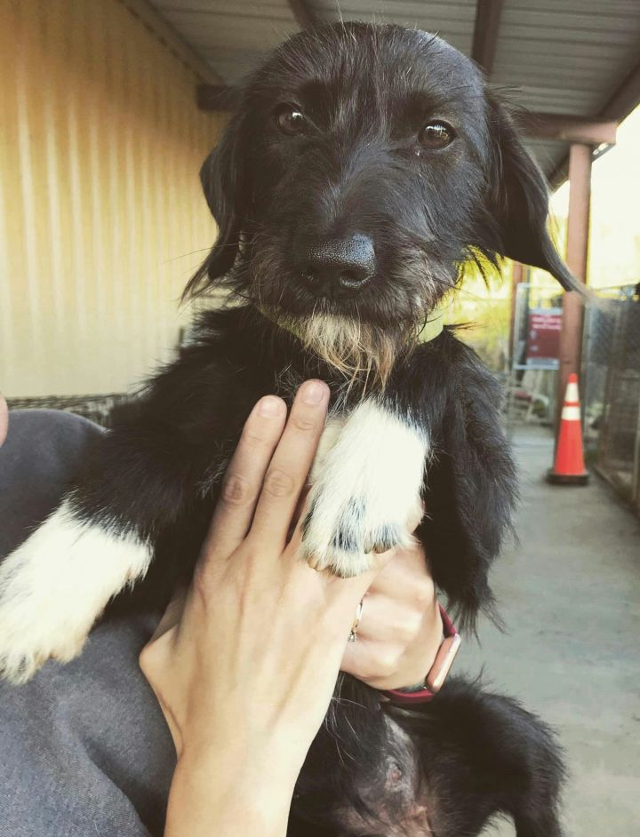 Lillian, an adopted Wirehaired Terrier Mix in Warner Robins, GA