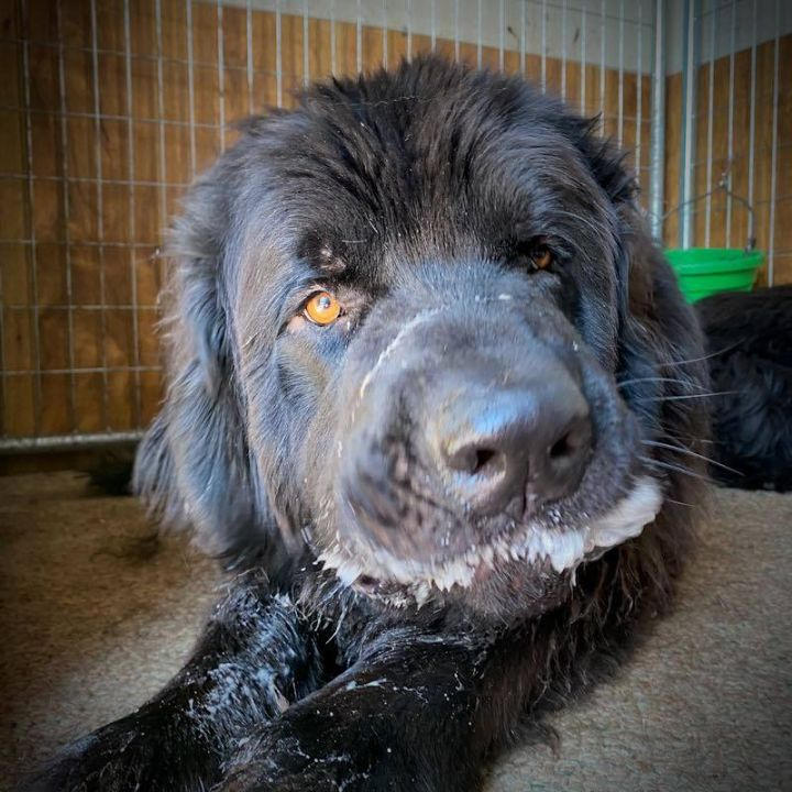 Phoenix, an adoptable Newfoundland Dog in North Branch, MN