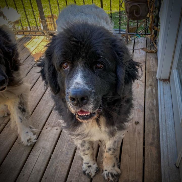 Milly & Molly, an adoptable Newfoundland Dog in North Branch, MN
