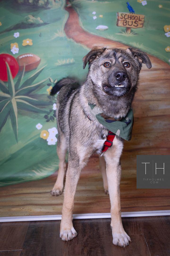 Dog For Adoption Rambo A Shepherd Husky Mix In Lubbock Tx