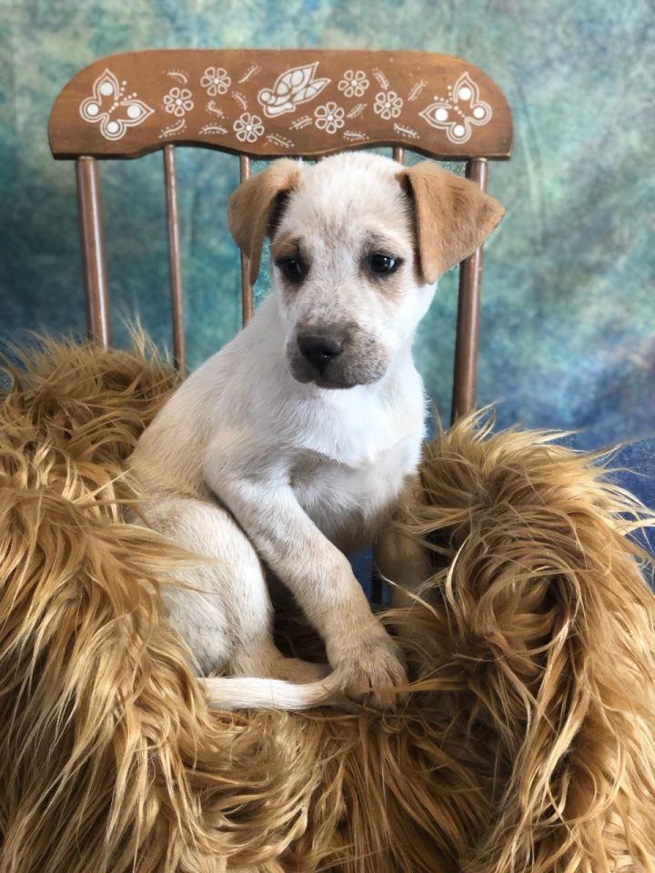 Dog For Adoption Anakin An Australian Cattle Dog Blue Heeler