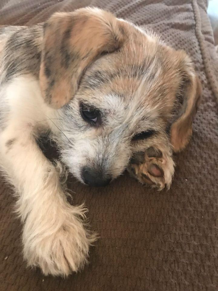 Dog For Adoption Hobbs A Terrier Dachshund Mix In Louisville