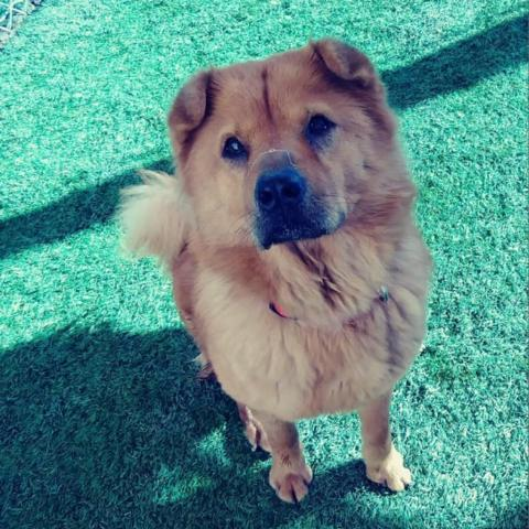Dog For Adoption Molly A Chow Chow Shar Pei Mix In Tempe Az