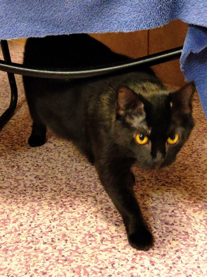 Raida, an adopted Domestic Short Hair Mix in Harrisburg, PA
