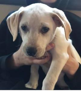 Dog For Adoption Hermes A Labrador Retriever Hound Mix In
