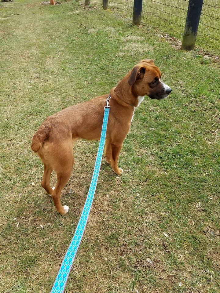 ABBEY, an adopted Boxer Mix in La Grange, KY