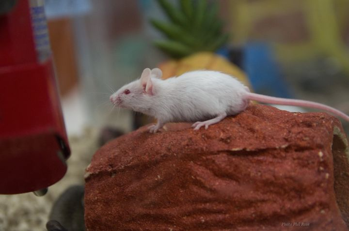 Mice, an adopted Mouse in Bellingham, WA