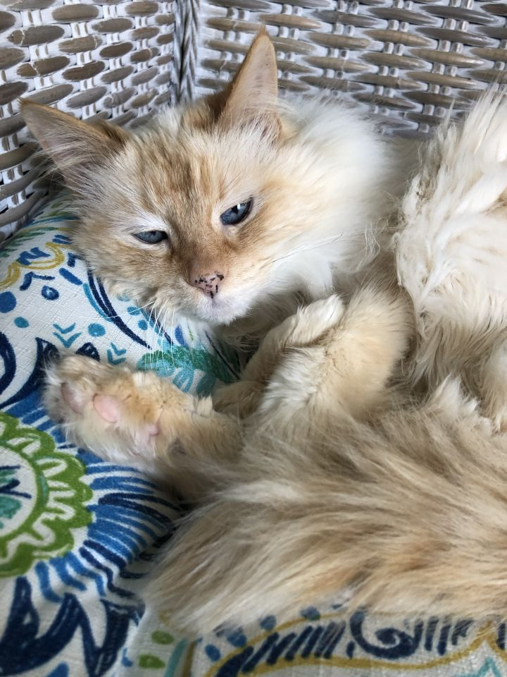 Marigold, an adopted Domestic Long Hair in Redmond, WA