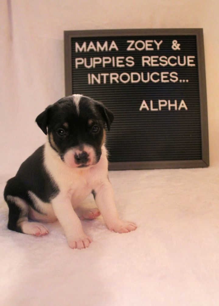 Dog For Adoption Alpha A Black Mouth Cur In Romeoville Il