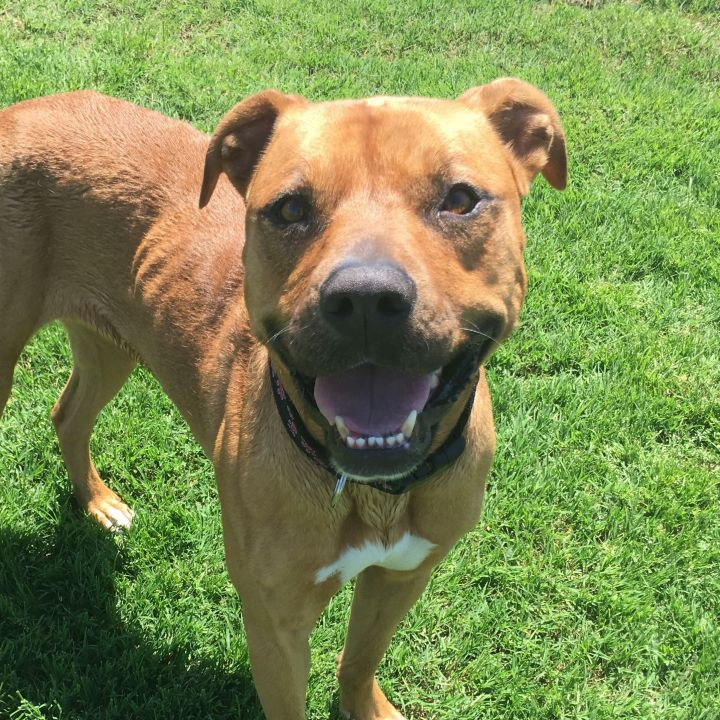 Carly, an adoptable Rhodesian Ridgeback & Boxer Mix in Oklahoma City, OK
