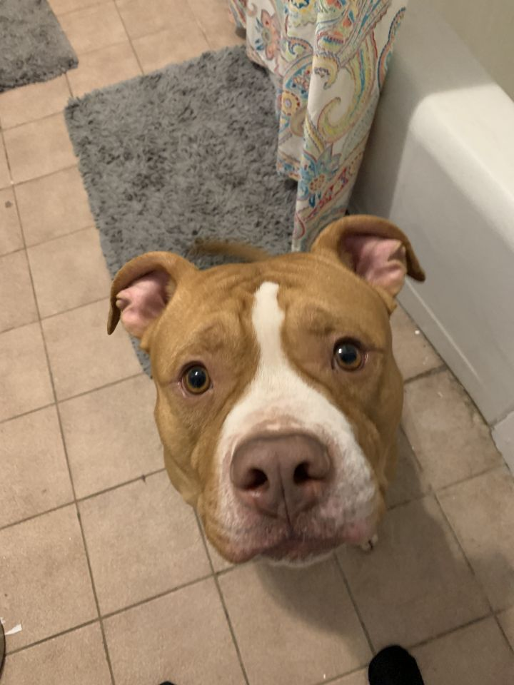 Mayer, an adopted American Staffordshire Terrier in Trenton, NJ