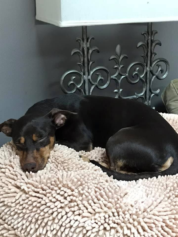 Calypso, an adopted Dachshund & Doberman Pinscher Mix in Palm Harbor, FL