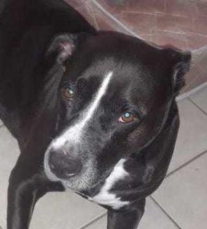 Amy American Bulldog Dog