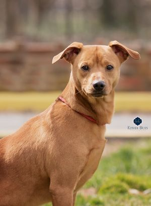 Dog for adoption - Rebel, a Jack Russell Terrier Mix in Danville, KY