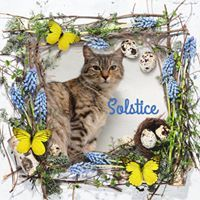 SOLSTICE, an adopted Domestic Short Hair in Fort Kent, ME
