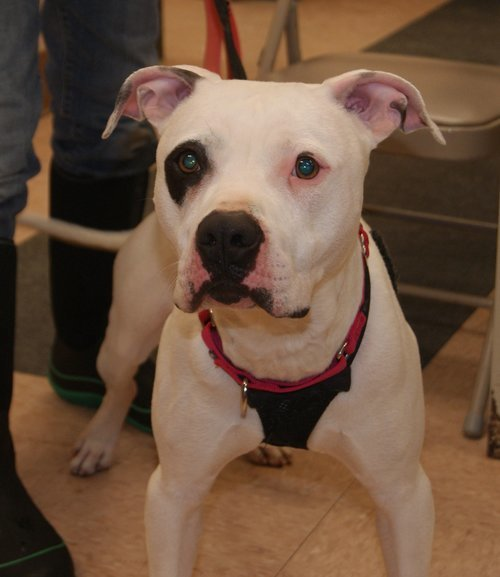 Petey, an adopted Pit Bull Terrier Mix in Batavia, NY