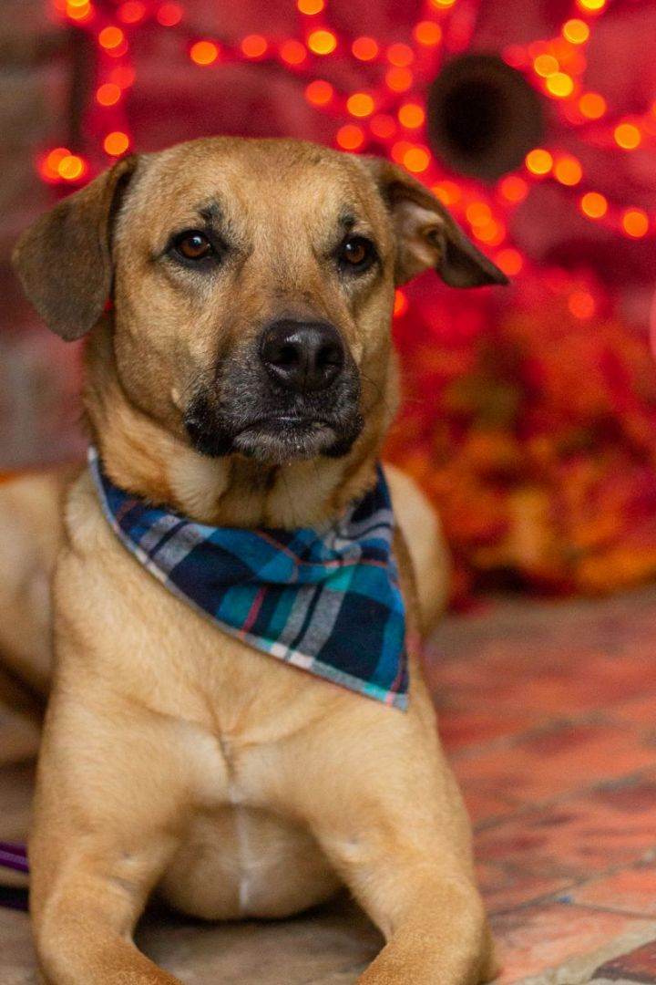 Rossi, an adoptable Black Mouth Cur Mix in Springfield, MO