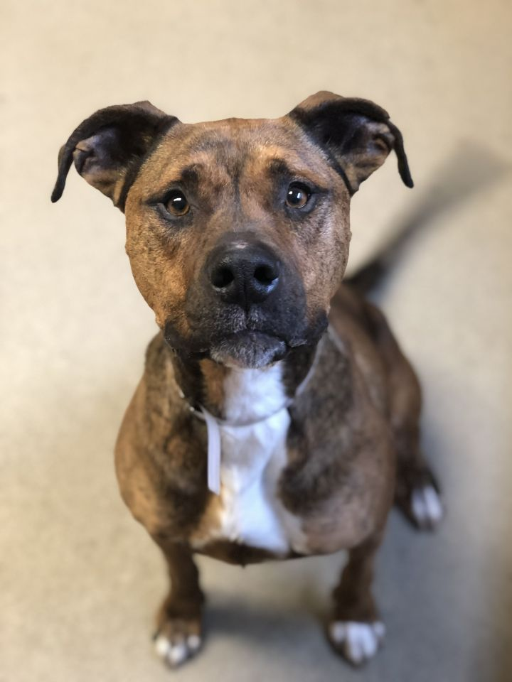 JJ, an adopted Pit Bull Terrier Mix in Bay Shore, NY