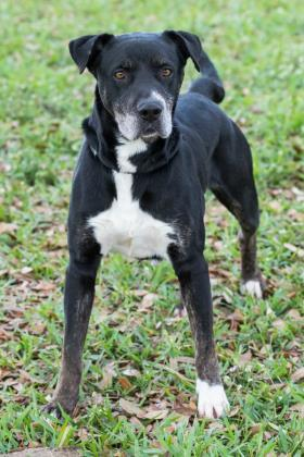 Ash, an adoptable Retriever Mix in Loxahatchee, FL